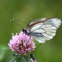 бабочки :: Александра Губина