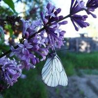 Бабочка и серень... :: ЕКАТЕРИНА БАРИНОВА