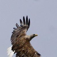 Орлан-белохвост :: Сергей Павлов