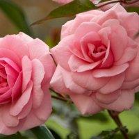 розы :: Алексей Кудрявцев