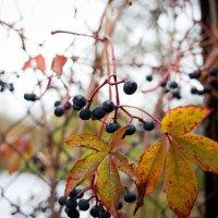 Виноград :: Lizhen Markevich