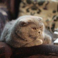 Шотландская Кошка :: Даниил Сорокин