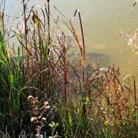 Рыбка в пруду :: Елена Васильева
