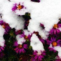 Октябрина под снегом в октябре :: Екатерина Березина