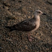 Чайка :: Илья Канашкин