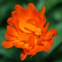 цветок :: Даниел Кердзевадзе