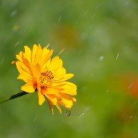 цветок и дождик :: сергей ершов