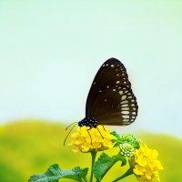 Чёрная бабочка :: Игорь Банников