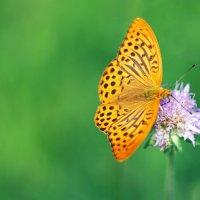 Бабочка... :: Александр Данильчев