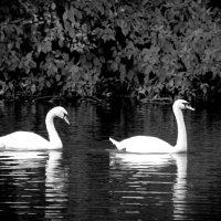 Лебеди :: Елизавета Вавилова