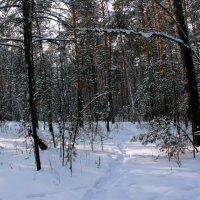 В рыжих соснах запутался снег... :: Надежда