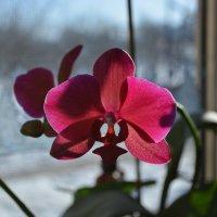 Орхидея :: Александр Рыбко