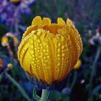 тюльпан (но правильное название-календула) :: юрий иванов