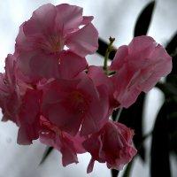 Олеандр пышным цветом :: ФотоЛюбка *