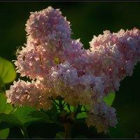 Запахи весны... :: Владимир Комышев