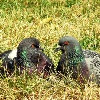 Любовь и голуби! :: Владимир Шошин