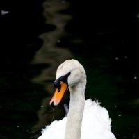Лебедь :: Александр Карапунарлы