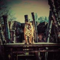 tiger :: Роман Кашапов