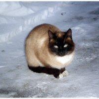 Семен, соседский котик :: Татьяна Пальчикова