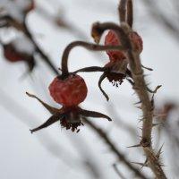 замерзший шиповник :: Оля Ковалева