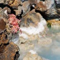 Цветы на лаве (Исландия) :: Олег Неугодников