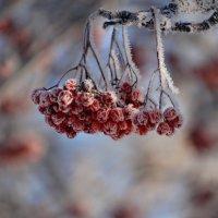 зимние ягодки :: Валентина Степанова