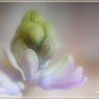 Мои гиацинты... :: Дарья Казбанова