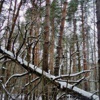 И в этот лес забрался бандит жук короед... :: Ольга Кривых