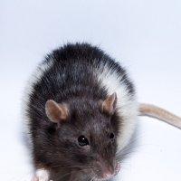 Крыса :: Алексей Ершов