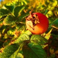 Растёт шиповник, в лучах заката... :: Dmitriy Strogalin