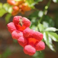 Бджілка :: Ludmila Пир