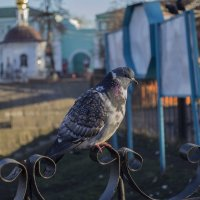 Просто голубь :: Андрей Честных