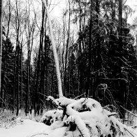В черно-белом лесу... :: Павел Зюзин