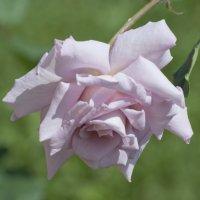 Бледная роза :: Люба Мельник