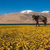 Алексей Соловьев - Das Pferd aus Tibet