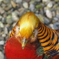 Золотой фазан :: Ева Такус