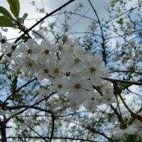 Вишня цветет :: Елена Ковшова