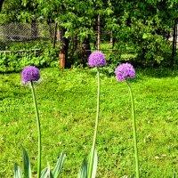 Чеснок на нашем огороде :: Сергей и Ирина Хомич