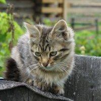 Котёнок :: Сергей Аверьянов