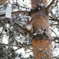 Белка на дереве :: Олег Бондаренко