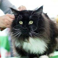 Выставка кошек :: Сергей Ко