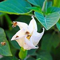 Вокруг цветка жужжание...... :: Ольга Ламзина