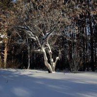 Старый клен в сосновом лесу. :: Kassen Kussulbaev