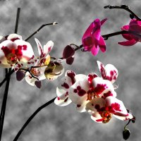 Орхидея :: Ольга Волкова