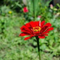 Вот он какой, аленький цветочек - циния :: Alexey Bogatkin