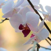 Орхидея :: Сергей Волков