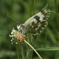 Бабочка горчичница :: Эдуард Цветков