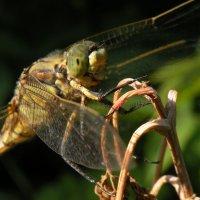 Dragonfly :: Эдуард Цветков