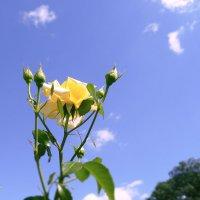 Жёлтая роза :: Анастасия Белякова