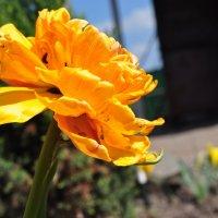 Желтый тюльпан :: Анна Пацакула